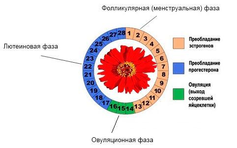 Как меняется шейка матки в зависимости от дня цикла? Как вести наблюдение?