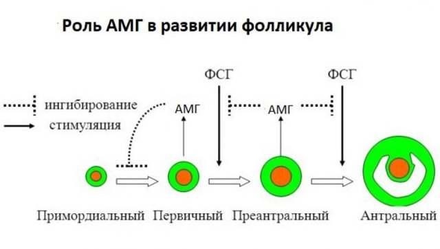 Антимюллеров гормон: функция, в каких случаях и как сдавать анализ, показатели нормы