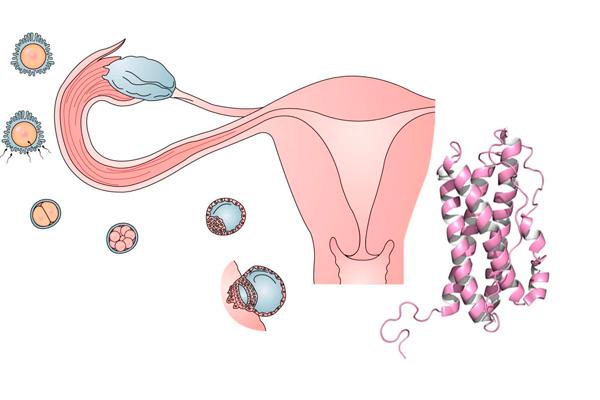 Пролактин когда сдавать на какой день цикла: прогестерон, макропролактин