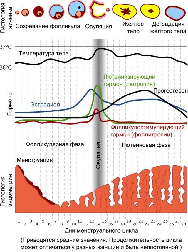 Цикл месячных: нормальный цикл сколько дней (норма отклонения)