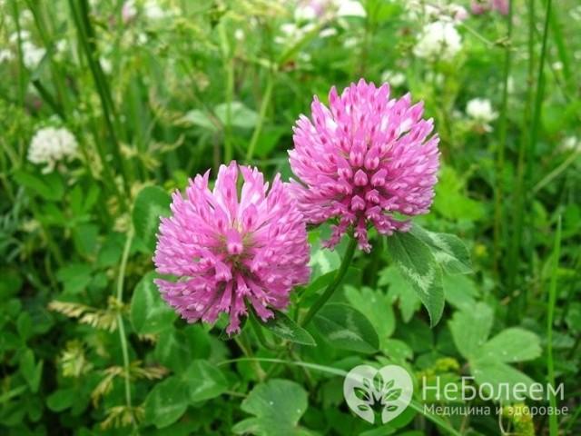 Травы при климаксе (от приливов и потливости): шалфей, красный клевер, с эстрогенами, душица