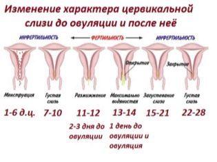 Выделения при, после. во время, перед овуляцией какие должны быть: белые, кремообразные, желтые, коричневые, кровянистые
