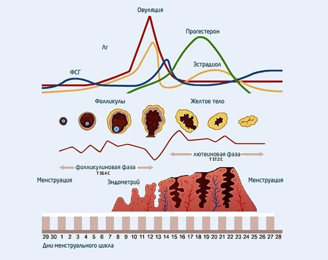 Прогестерон норма у женщин на 20-21-23 день цикла (во второй фазе)