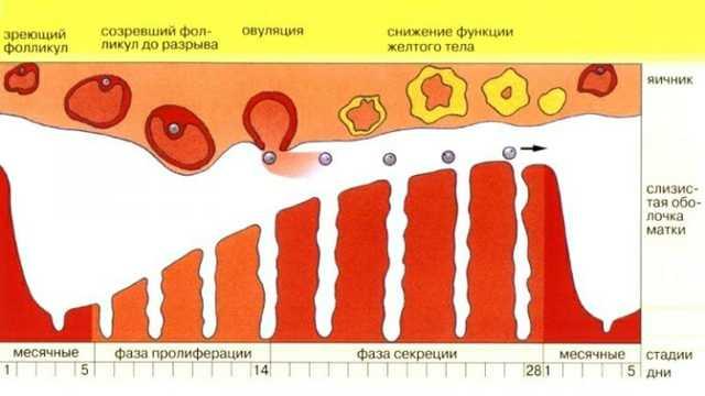 Сколько длятся месячные в норме (продолжительность) у женщин