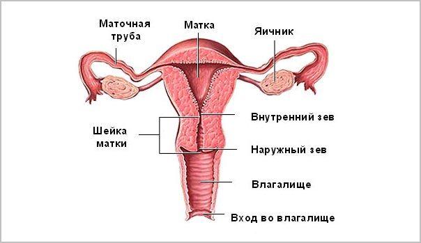 Шейка матки перед месячными на ощупь: по дням цикла, фото, при беременности, опускается или поднимается